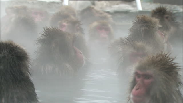 troop of japanese macaques relax in hot spring, steam rising, jigokudani monkey park, hakodate, hokkaido - jigokudani monkey park stock videos & royalty-free footage
