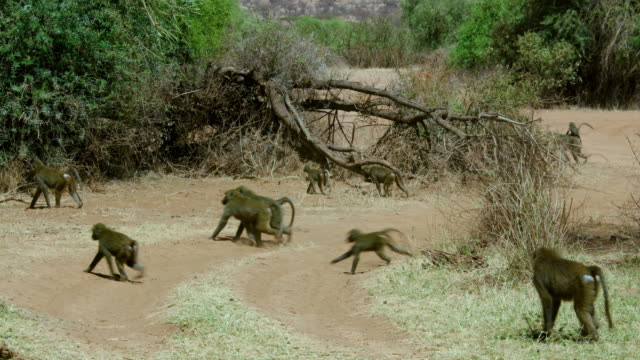 Troop Of Olive Baboons Crossing Track Samburu  Kenya  Africa