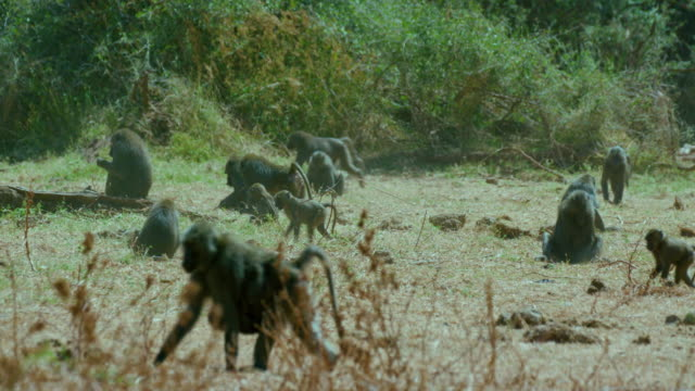 troop of olive baboons feeding & scavenging samburu  kenya  africa - primate stock videos & royalty-free footage