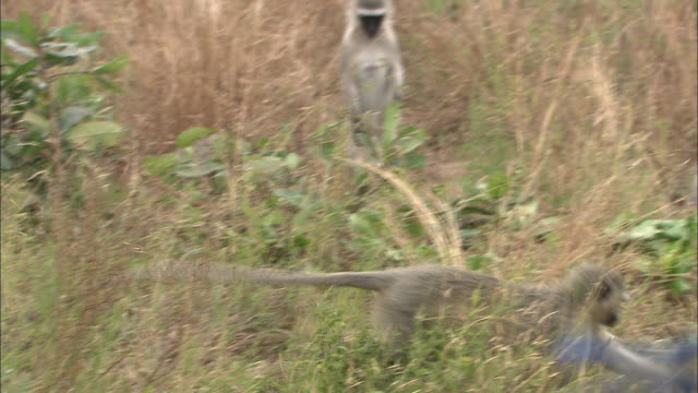 a troop of vervet monkeys  forage in a grassland. - plain stock videos & royalty-free footage