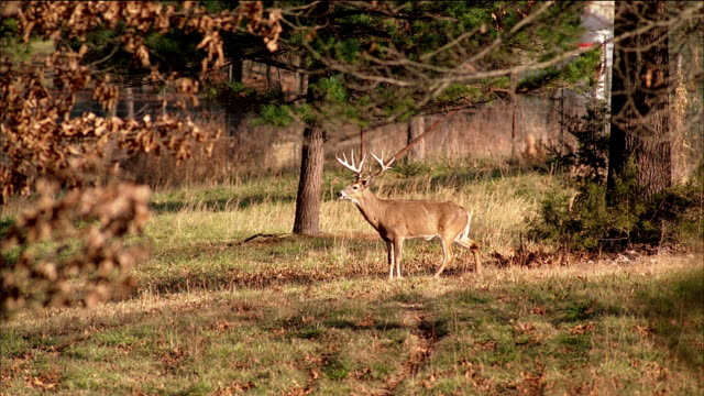 trophy deer with large antler rack stands in a forest clearing. - antler stock videos & royalty-free footage