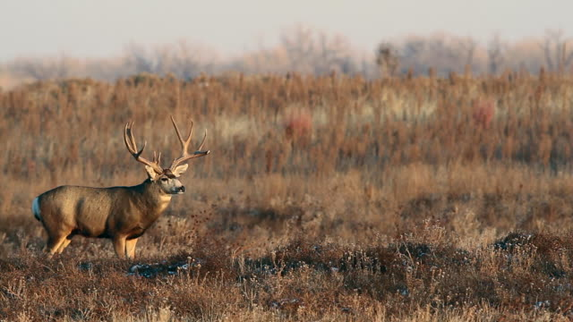 "ws ""trophy"" mule deer buck (odocoileus virginianus) scans the prairie for does - mule stock videos & royalty-free footage"