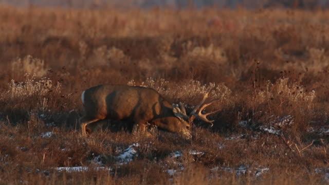 """ms """"trophy"""" mule deer buck (odocoileus virginianus) scans the prairie for does - white tailed deer stock videos & royalty-free footage"""