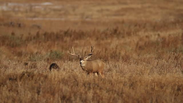 """ws """"trophy"""" mule deer buck (odocoileus virginianus) scans the prairie for does - white tailed deer stock videos & royalty-free footage"""