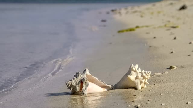 tropical beach conch shell, sunrise and ocean waves - seashell stock videos & royalty-free footage