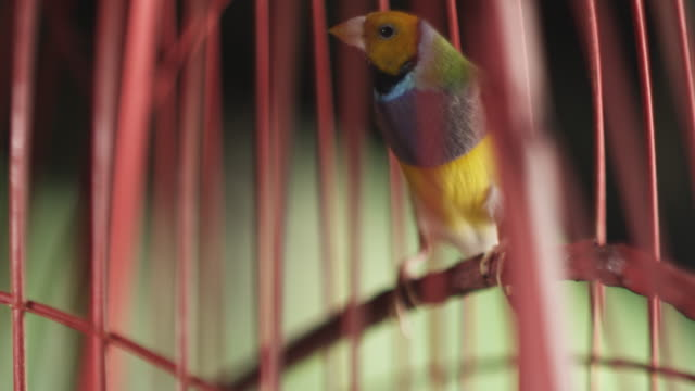 vídeos de stock, filmes e b-roll de tropical bird in cage - confinamento