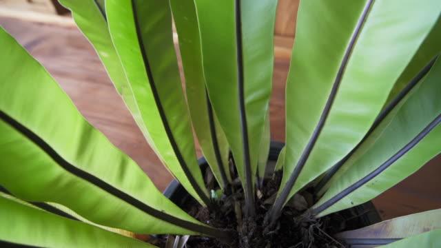 熱帯鳥の巣シダ観葉植物が遷移中に移動 - 観葉植物点の映像素材/bロール