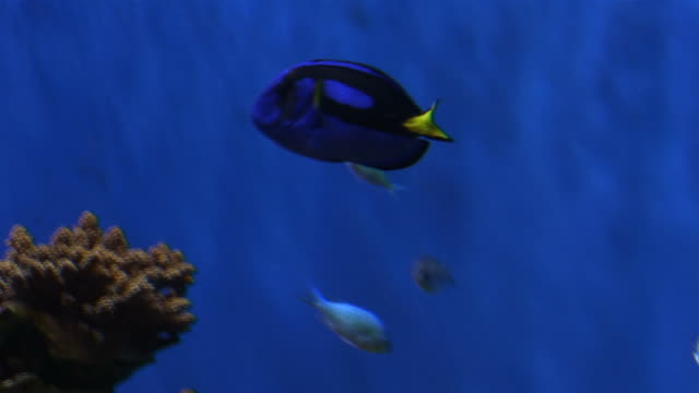 (hd1080i) tropical blue surgeonfish, acanthuridae, thorn tail fish - reef stock videos and b-roll footage