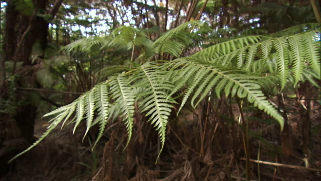 a tropical breeze blows the leaves of a tree fern in kona, hawaii. - tree fern stock videos & royalty-free footage
