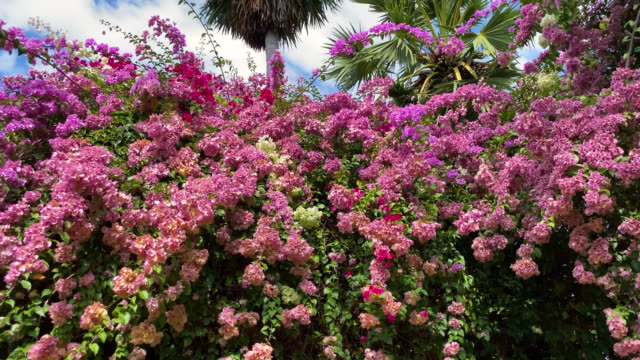 tropical bush in bloom - tropical bush stock videos & royalty-free footage