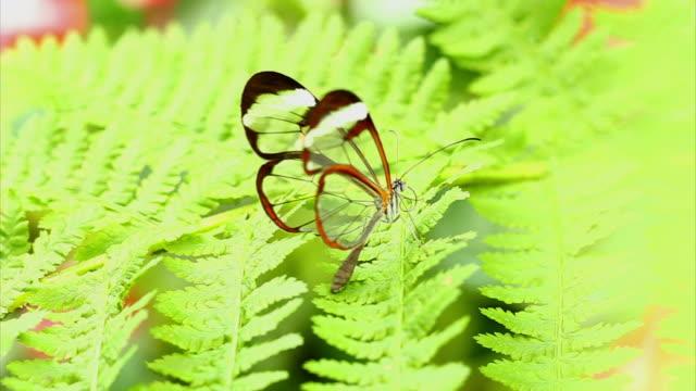 buttefly Tropical com folha de HD