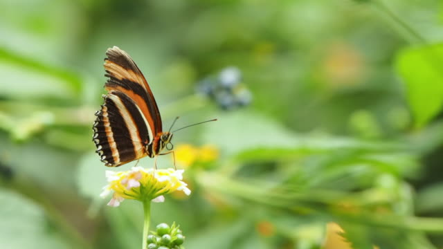 a tropical butterfly, the banded orange heliconian or orage tiger, appears from an unfocused background perched on a flower moving its spirit with which it releases the nectar of flowers. dryadula phaetusa. - mittelamerika stock-videos und b-roll-filmmaterial