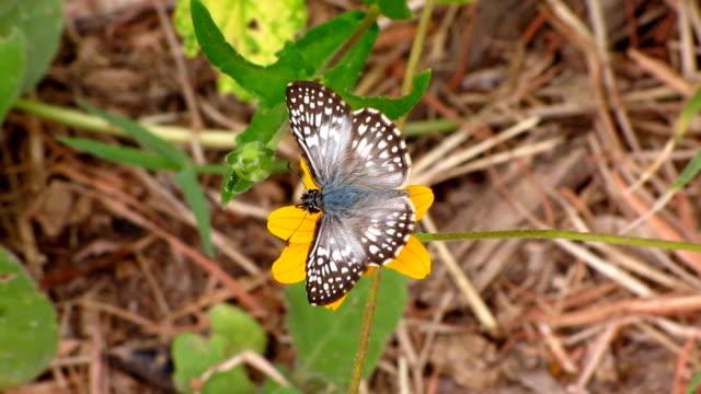 vidéos et rushes de damiers tropical-skipper - des papillons dans le ventre