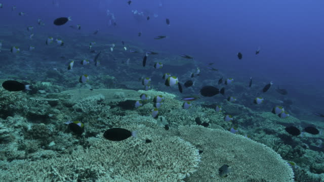 tropical coral reef, butterflyfish, fusilier fish, undersea - hemitaurichthys polylepis stock videos and b-roll footage