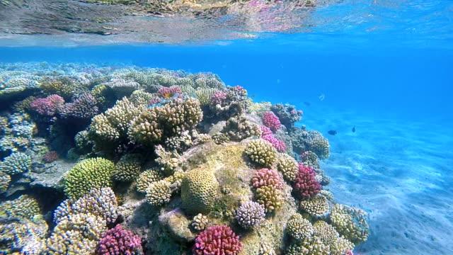 Arrecife de Coral tropicales en superficiales de agua en el Mar Rojo