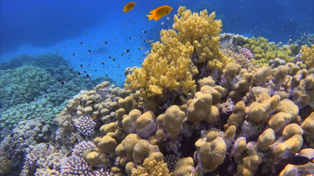 紅海のフィッシュの多くの熱帯のサンゴ礁