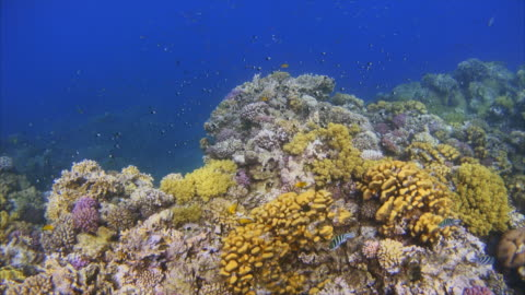 tropical fish an beautiful coral reef on red sea / egypt - damselfish stock videos & royalty-free footage