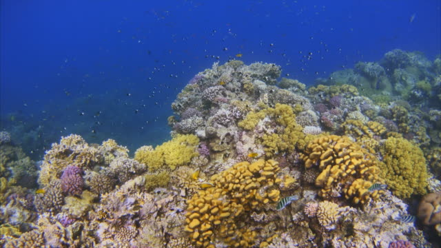 Tropical Fish an beautiful coral reef on Red Sea / Egypt