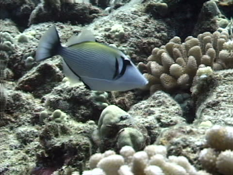 tropical fish and bleached coral reef - tierisches exoskelett stock-videos und b-roll-filmmaterial