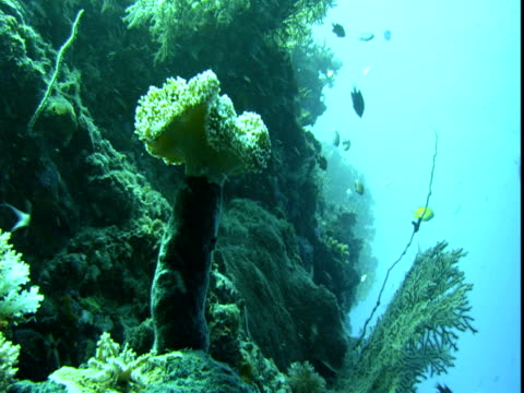 tropical fish forage around a variety of corals. - hemitaurichthys polylepis stock videos and b-roll footage