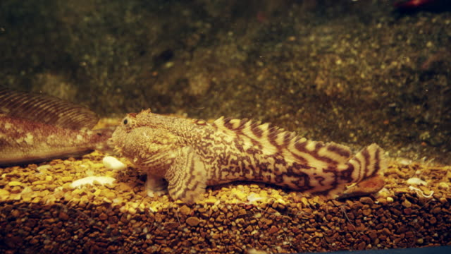 tropical fish in an aquarium on on rocks  in real time - tierfarbe stock-videos und b-roll-filmmaterial