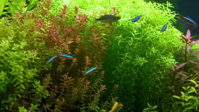 tropical fish in aquatic plant - aquatic plant stock videos & royalty-free footage