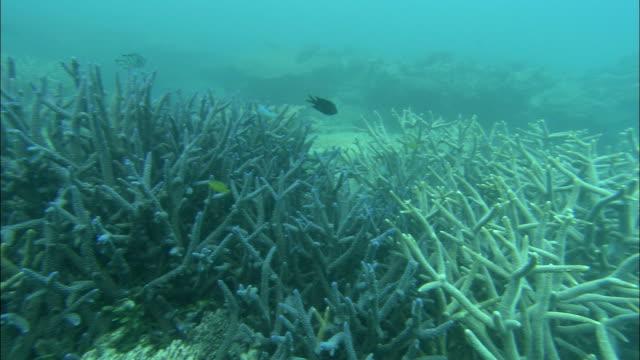 vidéos et rushes de tropical fish investigate staghorn coral. - corail cnidaire