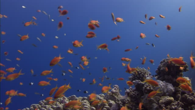 tropical fish swim above rocks and coral on the floor of the red sea. - red sea stock videos & royalty-free footage