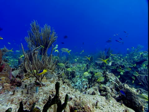 tropical fish swim along a coral reef. - grunt fish stock videos and b-roll footage