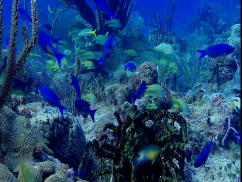 tropical fish swim amid corals on the ocean floor. - grunt fish stock videos and b-roll footage