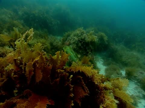 tropical fish swim around kelp and seaweed on the ocean floor. - kelp stock-videos und b-roll-filmmaterial