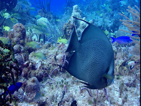 tropical fish swim near corals on the ocean floor. - grunt fish stock videos and b-roll footage