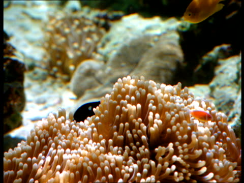 tropical fish swim near sea anemone. - sea anemone stock videos and b-roll footage