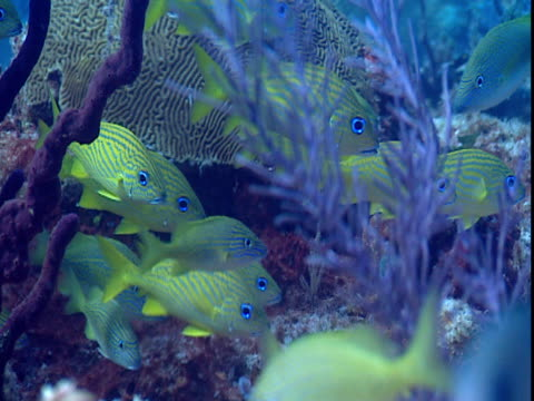 tropical fish swim next to colorful corals. - grunt fish stock videos and b-roll footage