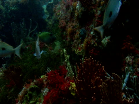 Tropical fish swim over a colourful coral reef in Tasmania.