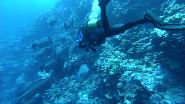 tropical fish swim past a scuba diver, and over a coral formation. - scuba diving stock videos & royalty-free footage
