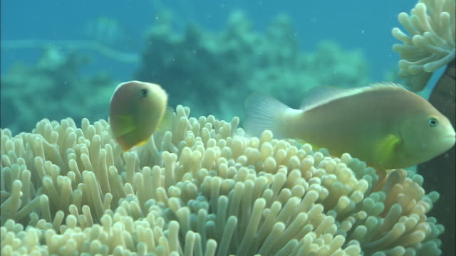 tropical fish swim through a sea anemone on a shipwreck. available in hd. - sea anemone stock videos & royalty-free footage