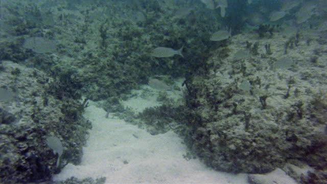 """stockvideo's en b-roll-footage met cu tropical fish swimming around moss-covered stones of atlantis"""" in bimini road / north bimini, bahamas - bimini"""