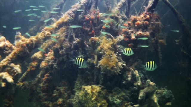tropical fish swimming in mangrove - the florida keys stock videos & royalty-free footage