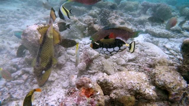 tropical fishes feeding on coral reef - maldives - moorish idol stock videos and b-roll footage