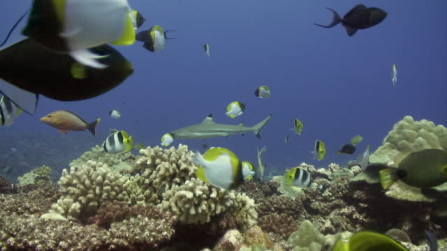 MS, Tropical fishes swimming around coral reef, Moorea Island, Tahiti, French Polynesia