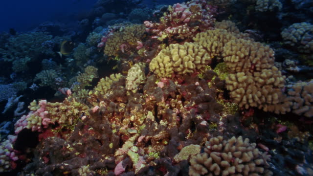 ms, tropical fishes swimming at coral reef - moorish idol stock videos and b-roll footage