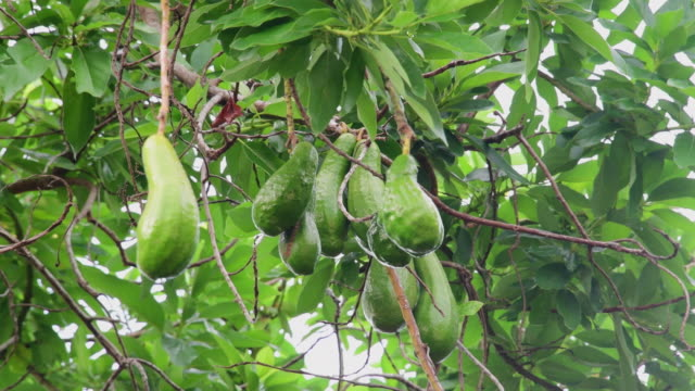 group of large avocados hanging on a tree since the economic changes production of fruit have increased due to higher prices in the marketplace - tropical tree stock videos and b-roll footage