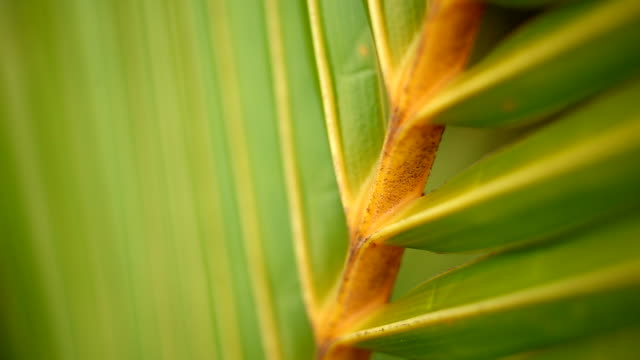 tropical green palm leaf in macro blowing in the wind - palm leaf stock videos & royalty-free footage