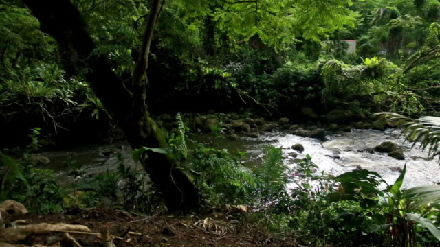 tropical jungle rain forest _kolekole state park_old bridge  big island, - tropiskt träd bildbanksvideor och videomaterial från bakom kulisserna