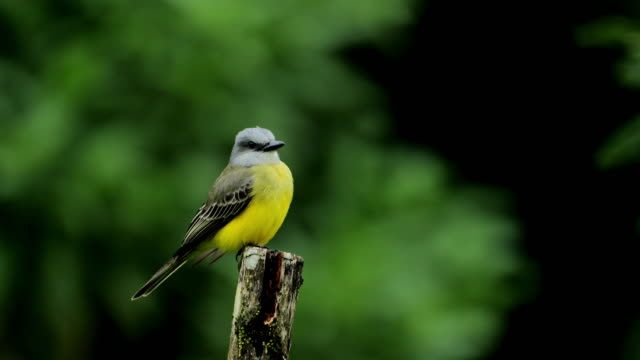 tropical kingbird from costa rica. - limb body part stock videos & royalty-free footage