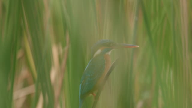ms tropical kingfisher bird perched in tall grass,sri lanka - sri lanka stock videos & royalty-free footage