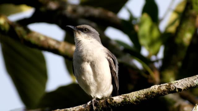 Tropical Mockingbird perching on tree