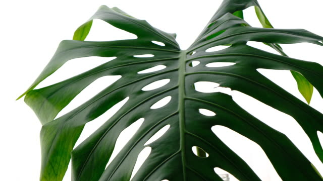 vidéos et rushes de plante en pot tropical monstera - plante
