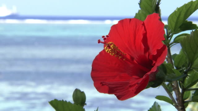 tropical ocean behind hibiscus, okinawa, japan - travel destinations点の映像素材/bロール